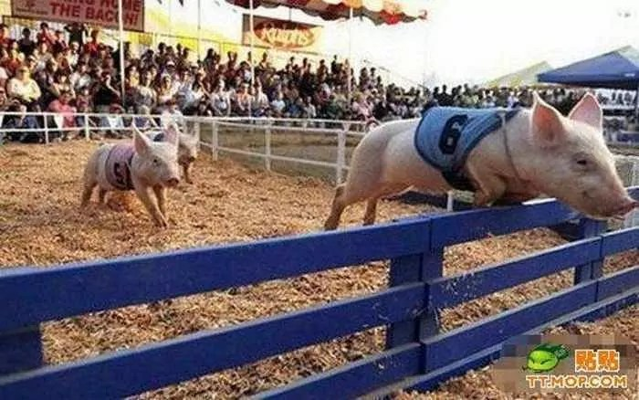 Meanwhile Funny Pig Racing In China - 7 Pics -04