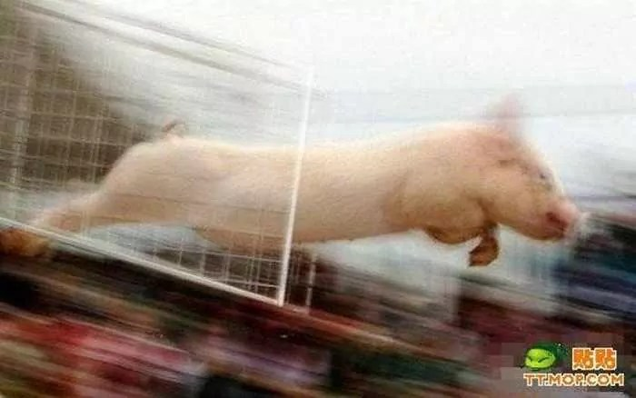 Meanwhile Funny Pig Racing In China - 7 Pics -06