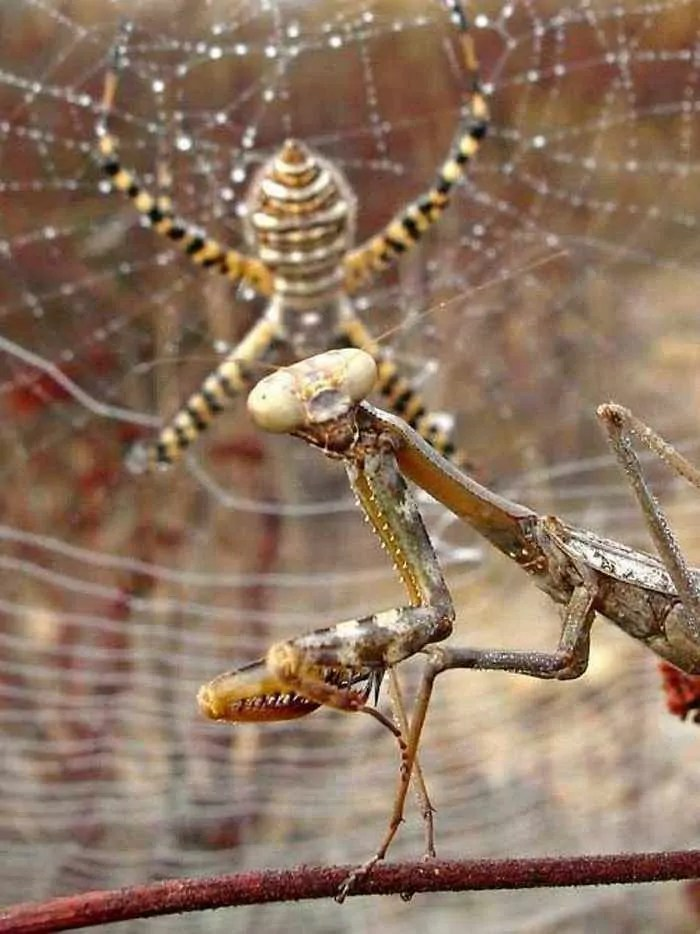This Spider VS Mantis Battle Will Blow Your Mind - 8 Pics -02