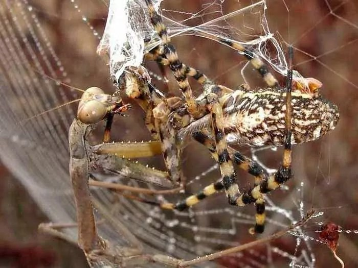 This Spider VS Mantis Battle Will Blow Your Mind - 8 Pics -04