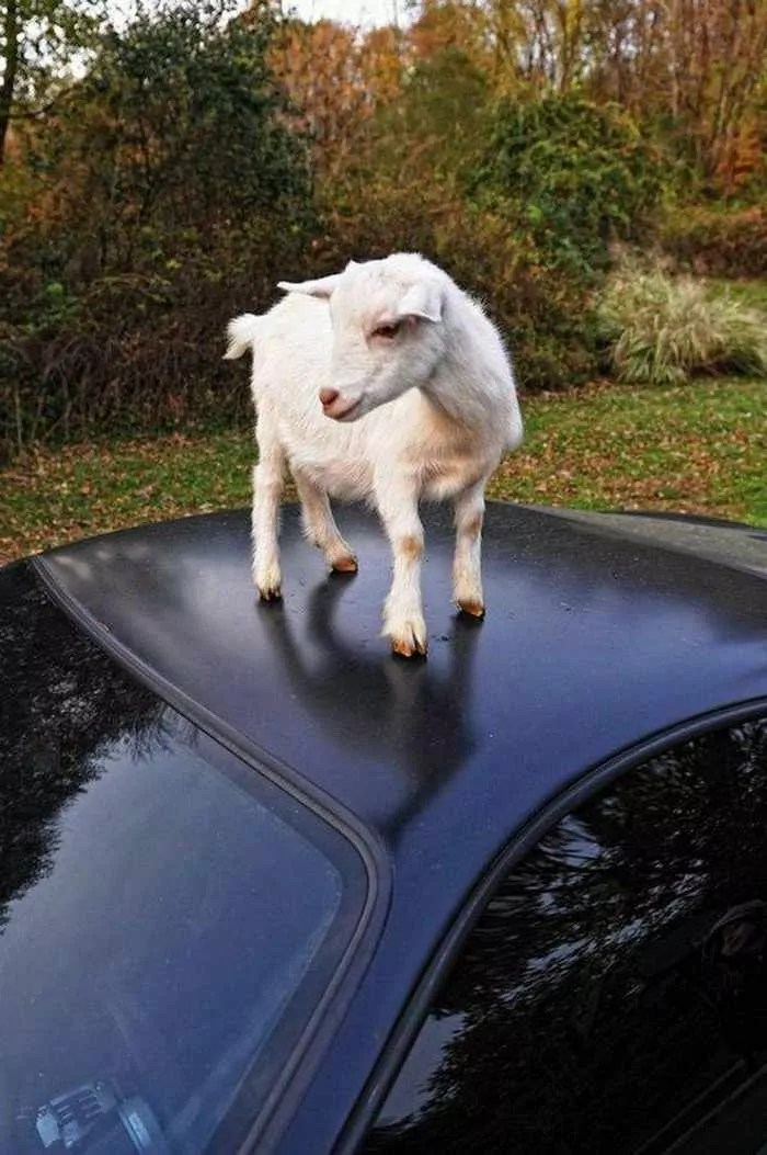 Funny Goat Playing on The Top of Ferrari Car_01