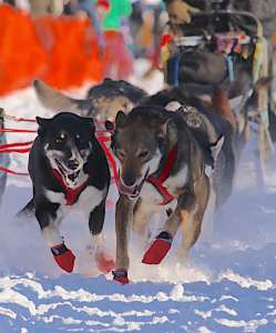 Sled Dogs at the Iditarod start in Willow Alaska