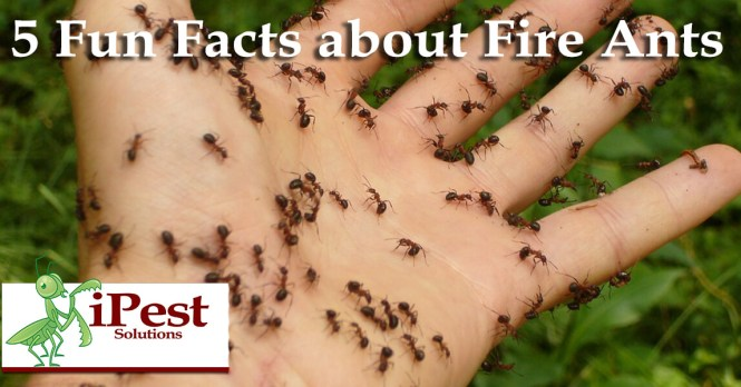 Floating Fire Ant Rafts Are Horrifying Dangerous Really Cool Howstuffworks