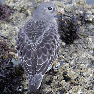 Waders - Purple Sandpiper