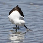 Avocets and Stilts Andean Avocet