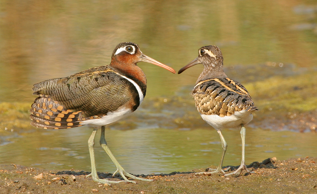 Greater Painted-snipe (2) © Robert Wienand