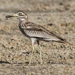 Stone-curlews and Thick-knees - Senegal Thick-knee