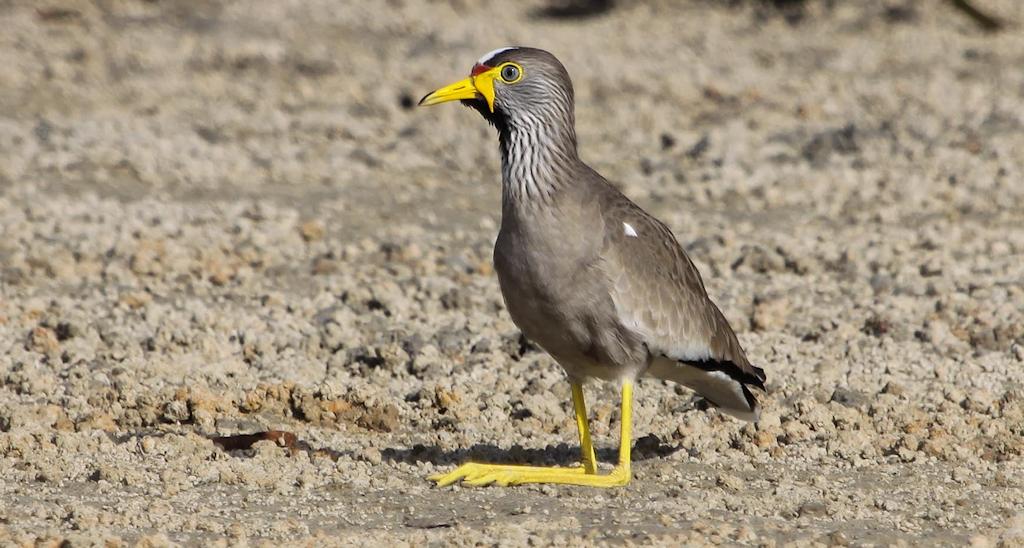 African Wattled Lapwing (1) © Elis Simpson