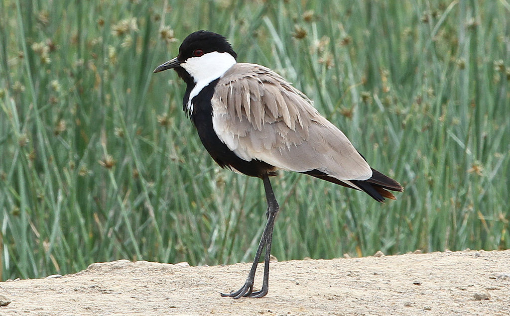 Spur-winged Lapwing (2) © Barry Madden