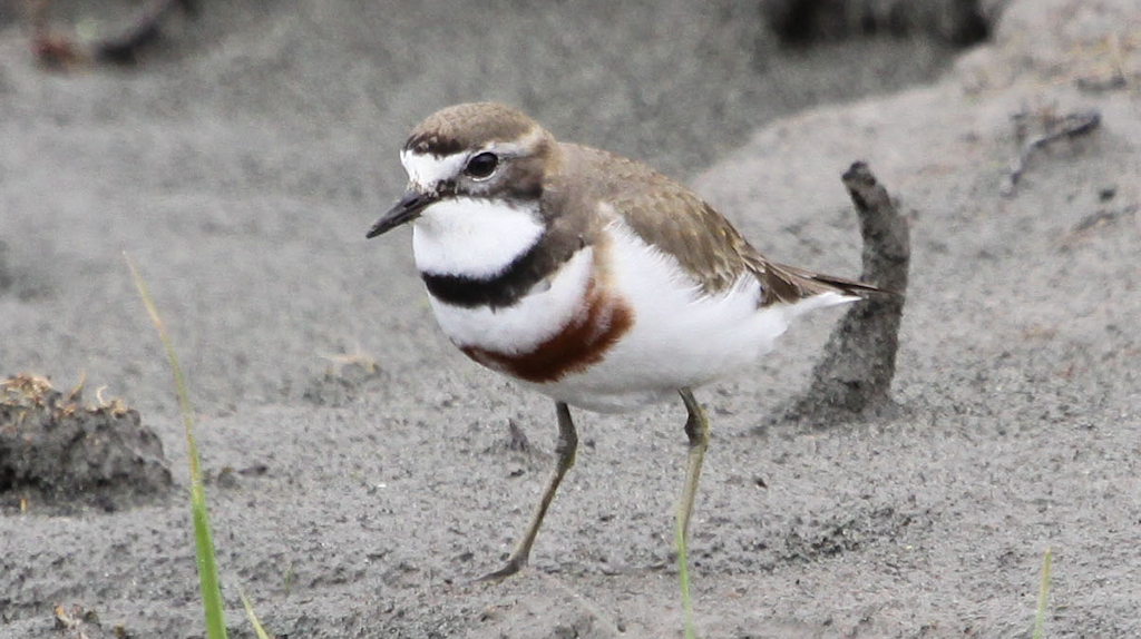 Double-banded Plover (2) Elis Simpson