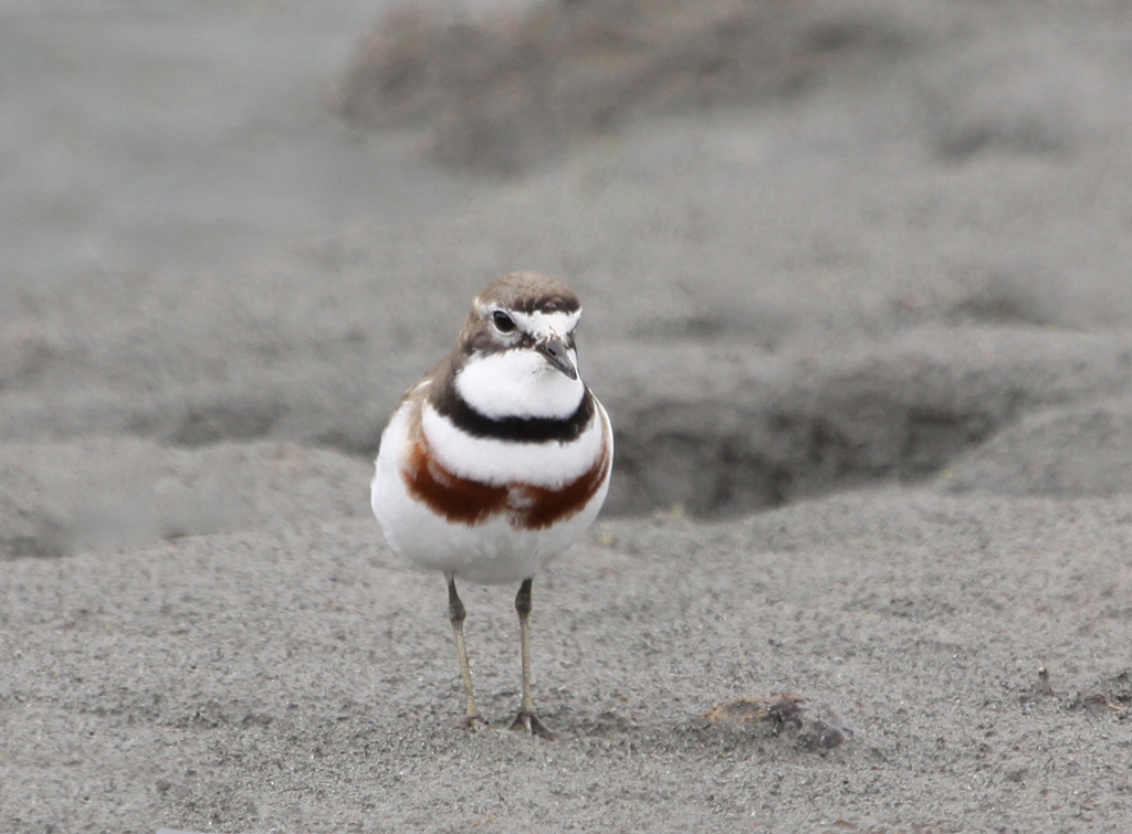 Double-banded Plover (4) Elis Simpson
