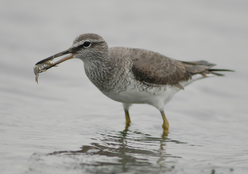 Grey-tailed Tattler (1) CC Changhua Coast Conservation Action
