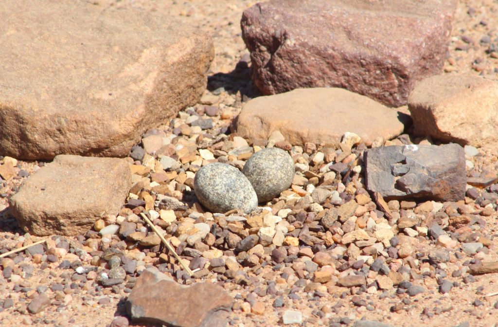 Three-banded Plover nest and eggs © Janet du Plooy