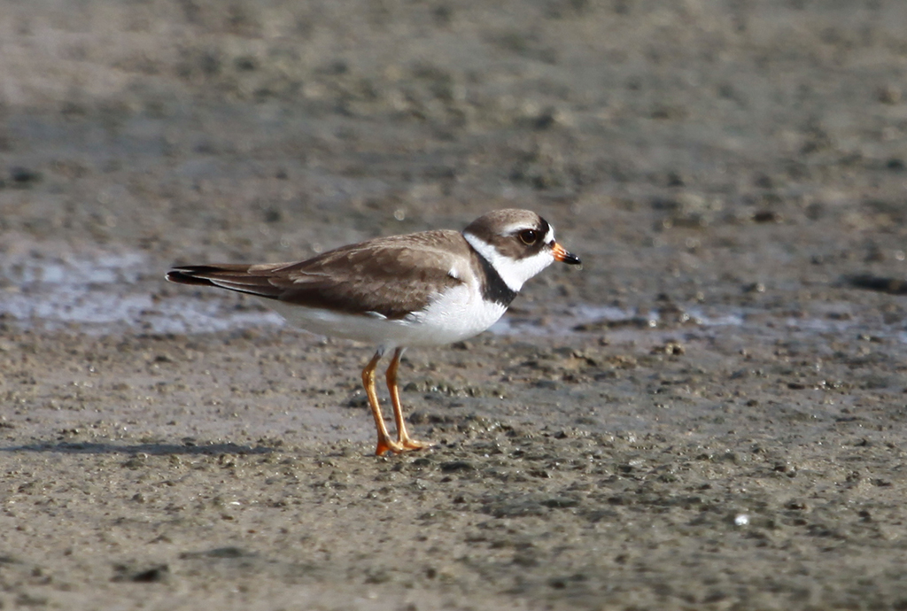 Semipalmated Plover (2) © Elis Simpson