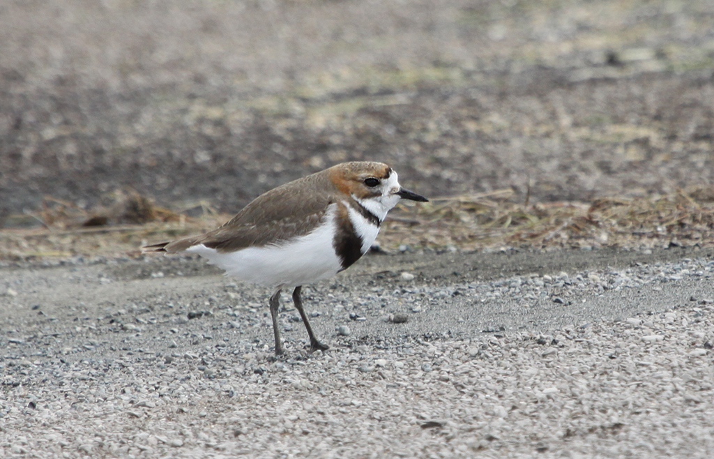Two-banded Plover (1) © Elis Simpson