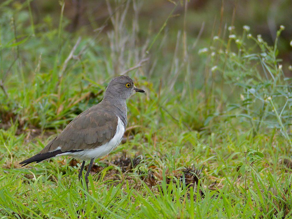 Senegal Lapwing (1) CC Ian White