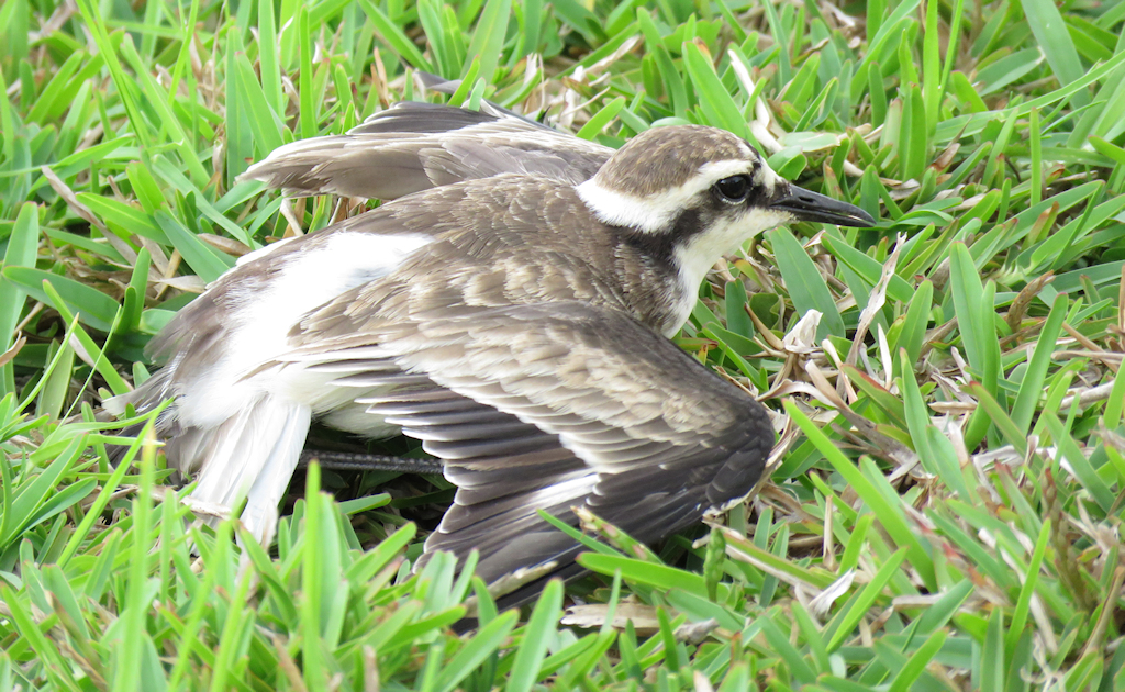 St. Helena Plover (2) © Keith Betton
