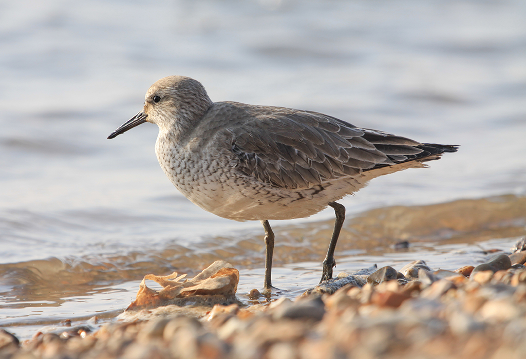 Red Knot (1) © Elis Simpson