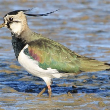 Northern Lapwing – The Real Easter Bunny