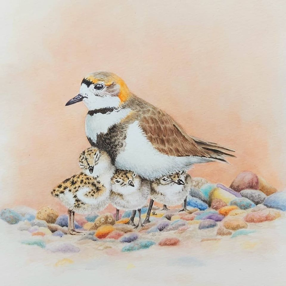 Two-banded Plover © Heidi Lots