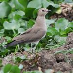 Black-winged Pratincole