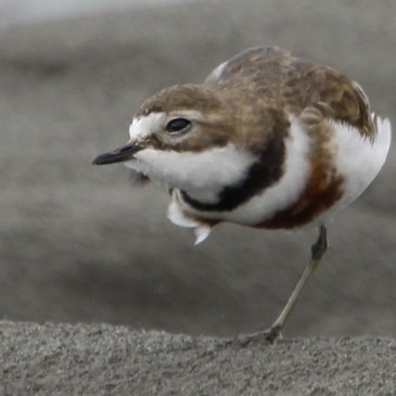 Double-banded Plover uplisted to Near Threatened.