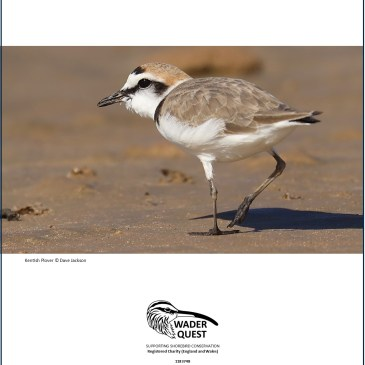 Kentish Plover; What's In A Name?