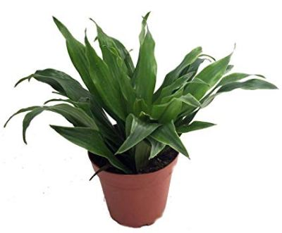 indoor plant,office plant, dracaena compacta