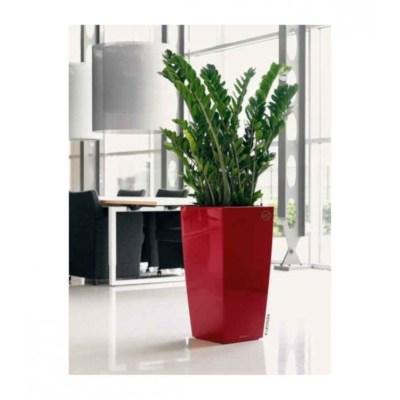 plants muscat