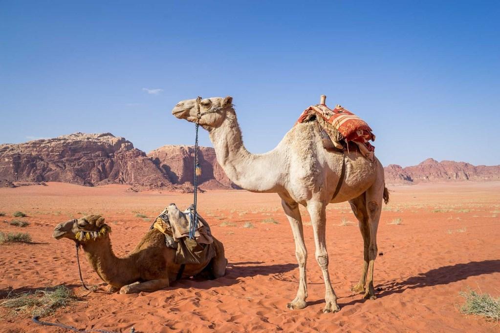 camels wadi rum