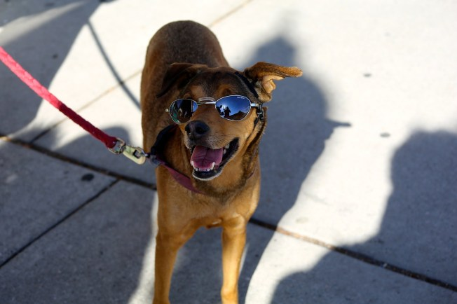 Dog Cool in Shades