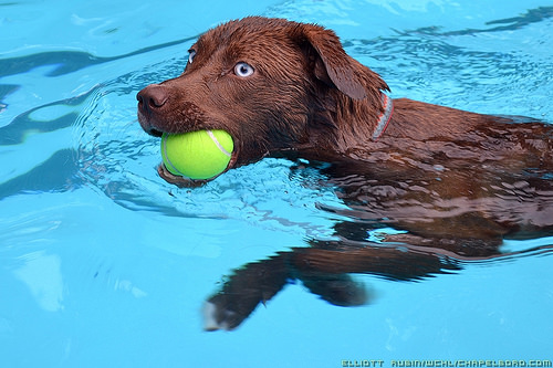 Dog Swimming with Tennis Balll