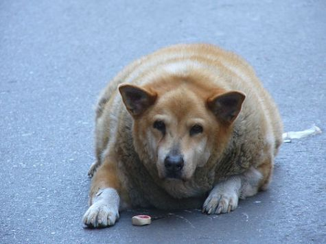 overweight dog