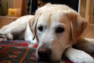 Yellow Labrador Retriever Resting