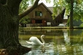 Swan and koi pond