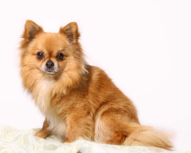 Chihuahua Long-Haired