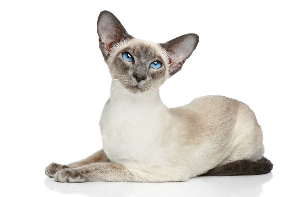 The Show Siamese Cat