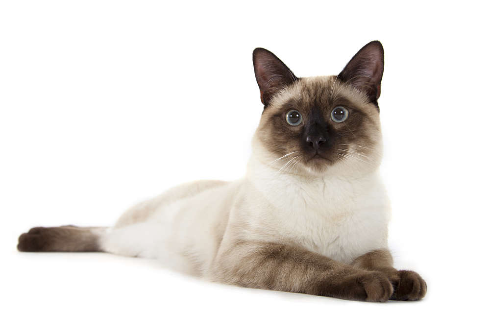 The Traditional Siamese Cat