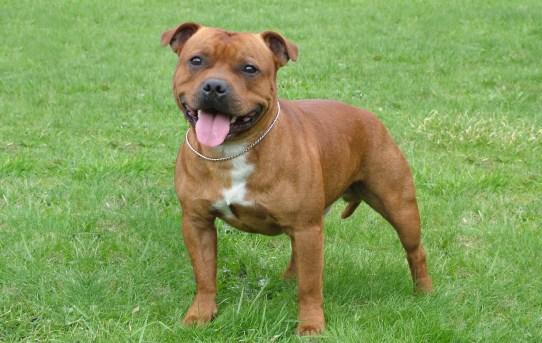 The Staffordshire Bull Terrier