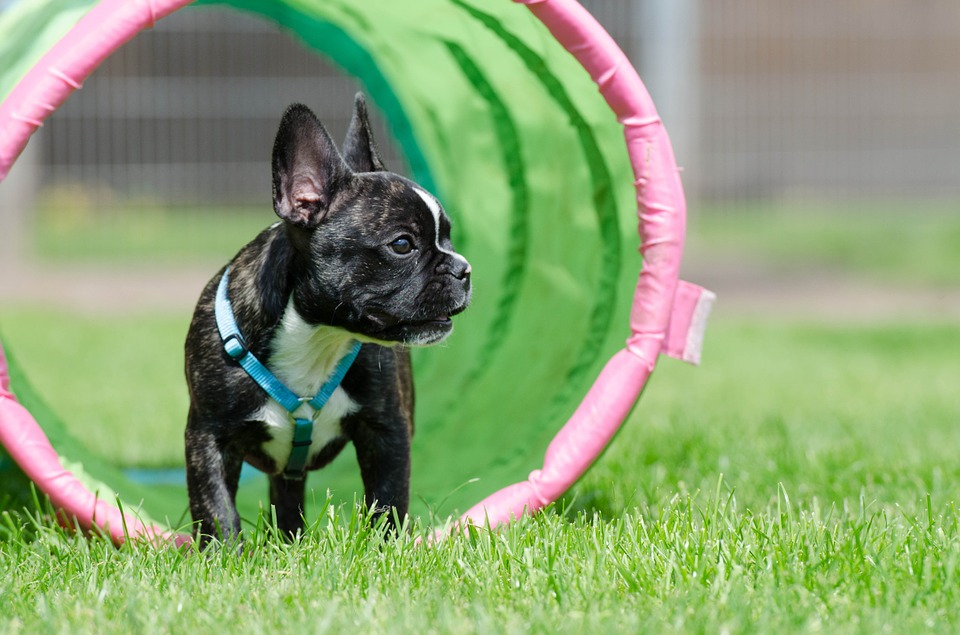 The French Bulldog exercise