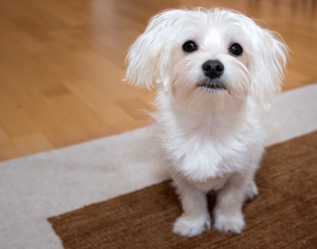 The Shih Tzu An Outgoing Playful And Low Maintenance Companion