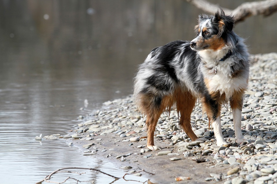 The Australian Shepherd near a lake