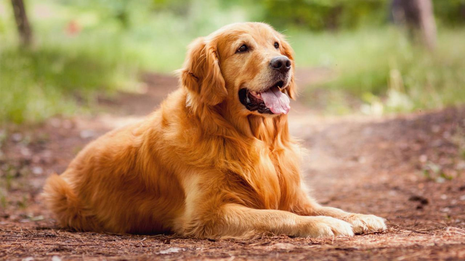 Gold Golden Retriever
