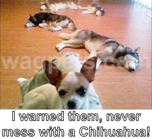 I warned them, never mess with Chihuahua!