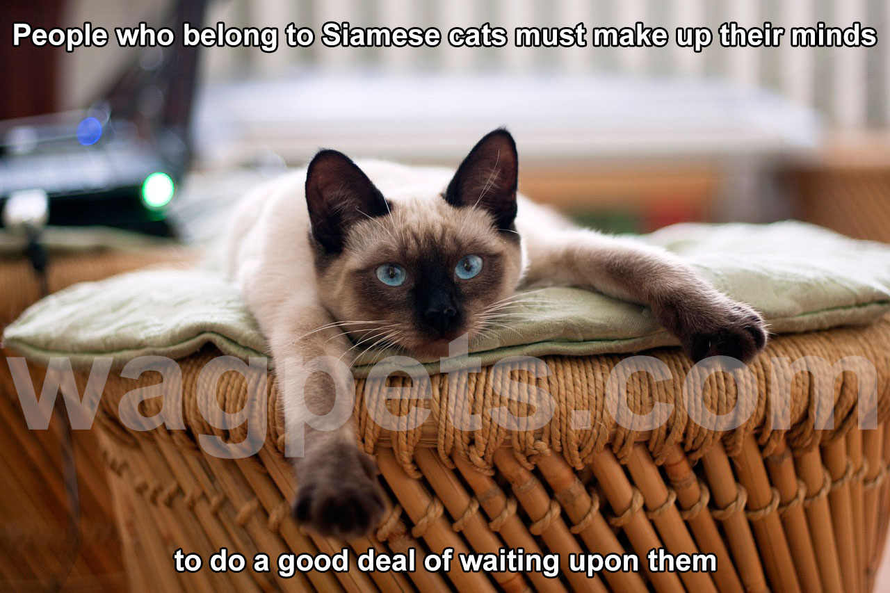 People who belong to Siamese cats must make up their minds to do a good deal of waiting upon them