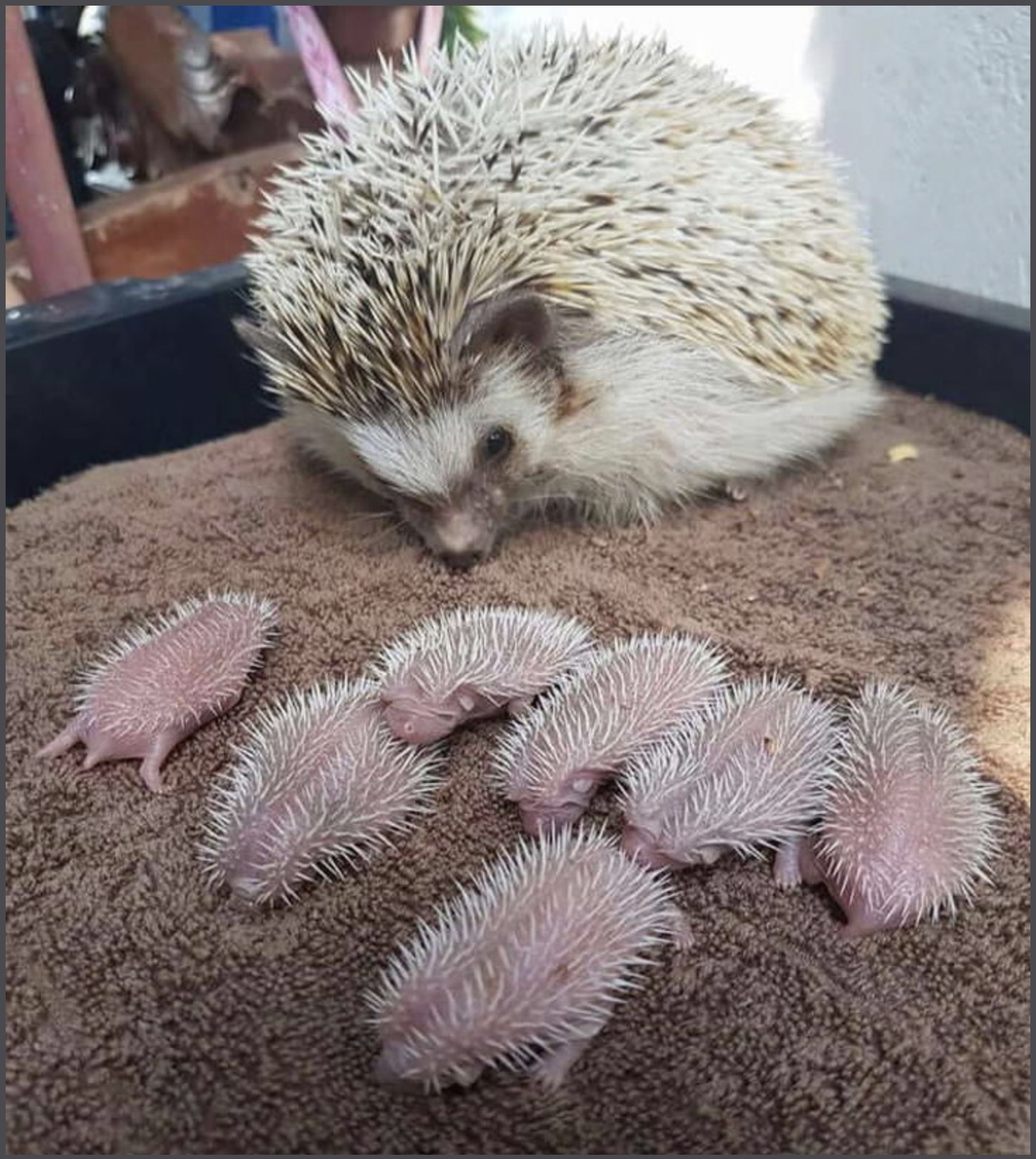 Lovely hedgehogs