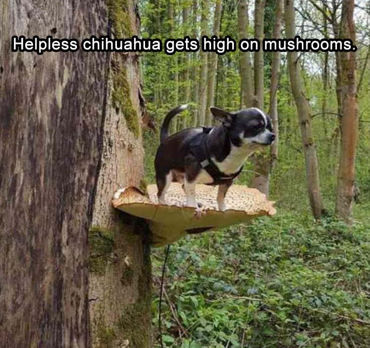 Helpless Chihuahua gets high on mushrooms.