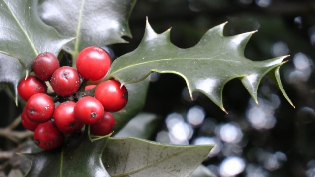 Holly berries are poisonous to pets