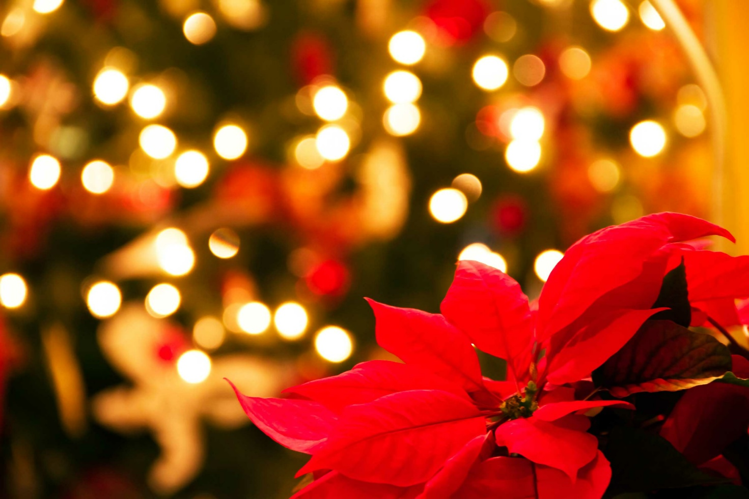 Poinsettias are toxic for pets