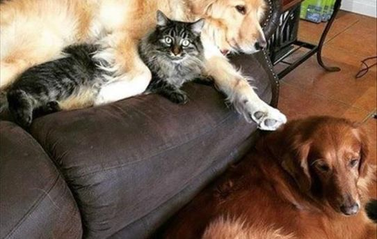 I don't think my cat loves my dogs as much as they love him